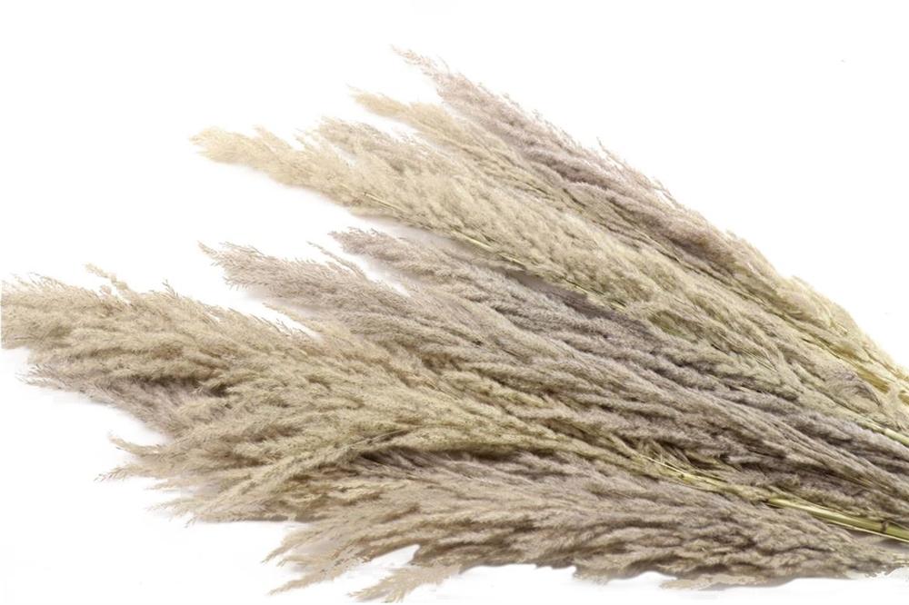 Pampas naturale in mazzo da 8 pz essiccata e stabilizzata h. 90/120 cm