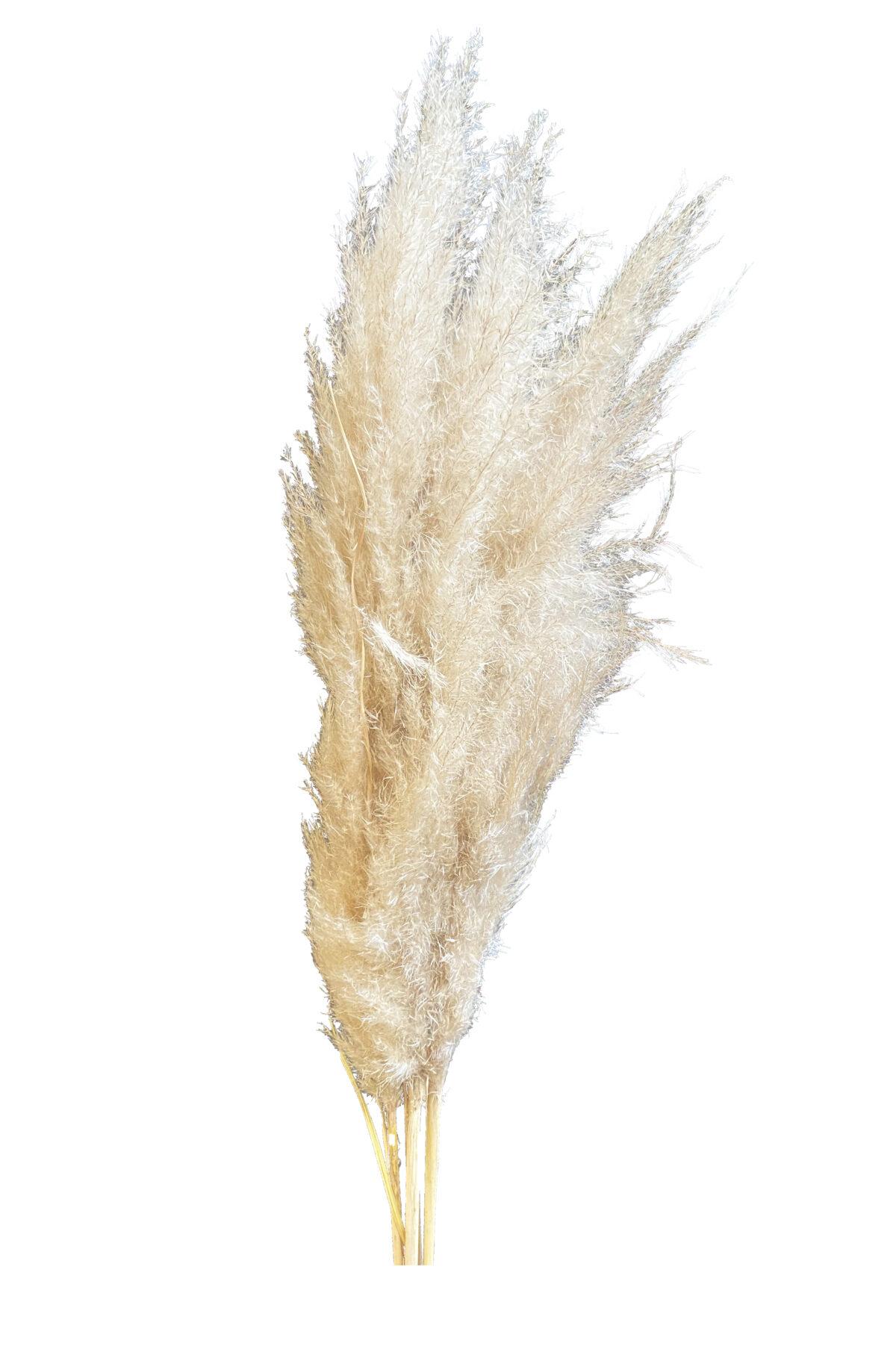 Pampas naturale in mazzo da 8 pz h. 90/120 cm essiccata e stabilizzata