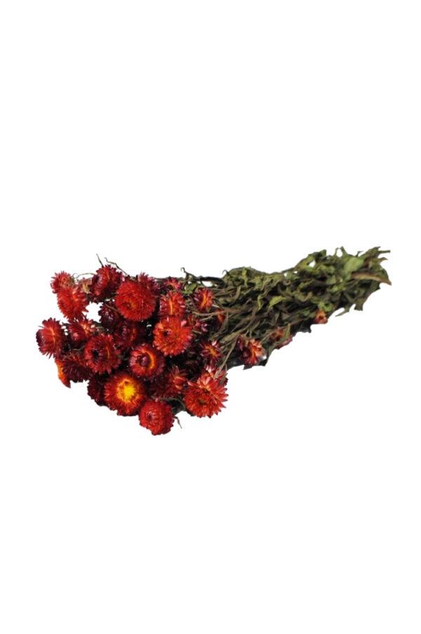 Mazzo di Elicriso naturale secco e stabilizzato di colore rosso