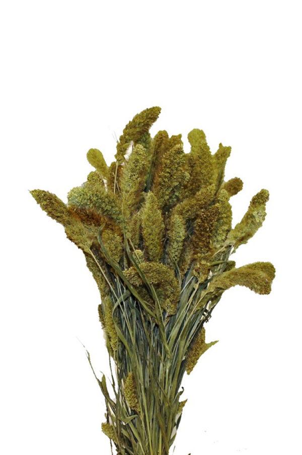 Mazzo di setaria verde naturale essiccata e stabilizzata