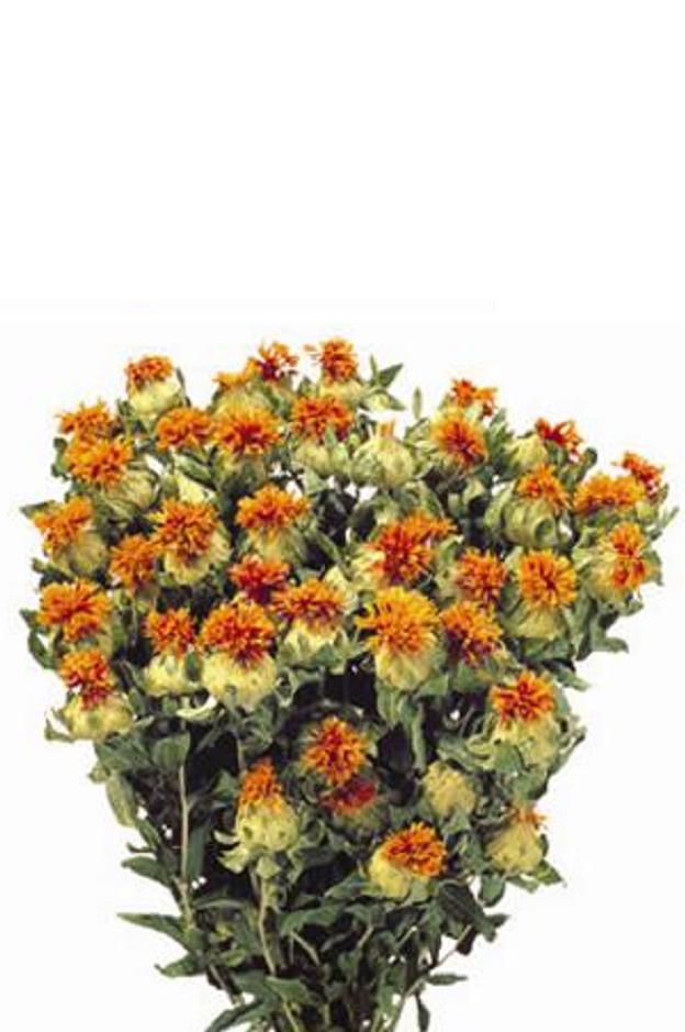 Mazzo di Cartamo naturale secco e stabilizzato di colore arancione