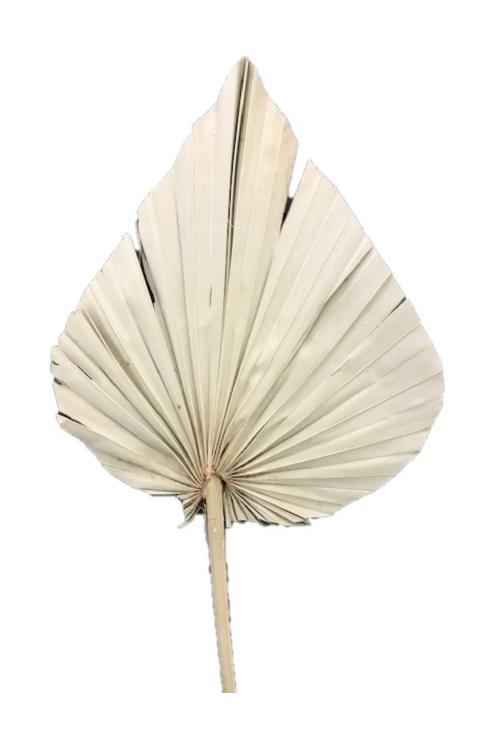 Set composto da 5 Foglie di Palma Spear essiccata e stabilizzata di colore naturale 55/65 cm