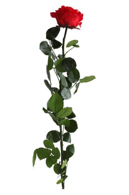 Rosa eterna stabilizzata con stelo e foglie qualità Premium colore rosso d.6/8 cm h. 55 cm in confezione regalo